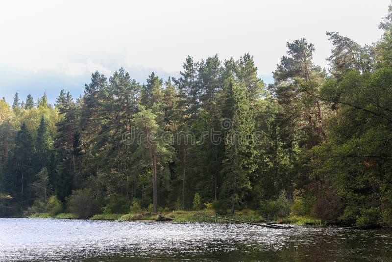 Ποταμός με την ακτή κοντά στο δάσος πεύκων στοκ εικόνα