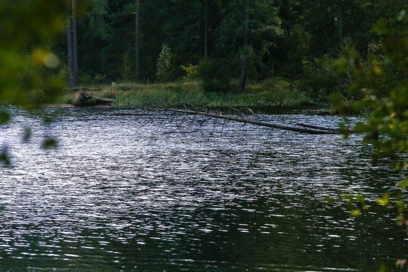 Ποταμός με την ακτή κοντά στο δάσος πεύκων στοκ εικόνες