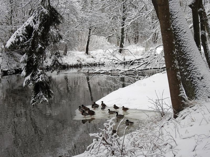 Ποταμός, πουλιά παπιών και χιονώδη δέντρα, Λιθουανία στοκ εικόνες