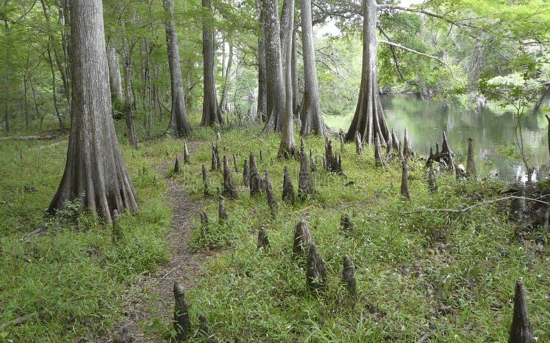 Ποταμός Σάντα Φε γονάτων δέντρων κυπαρισσιών στοκ εικόνες
