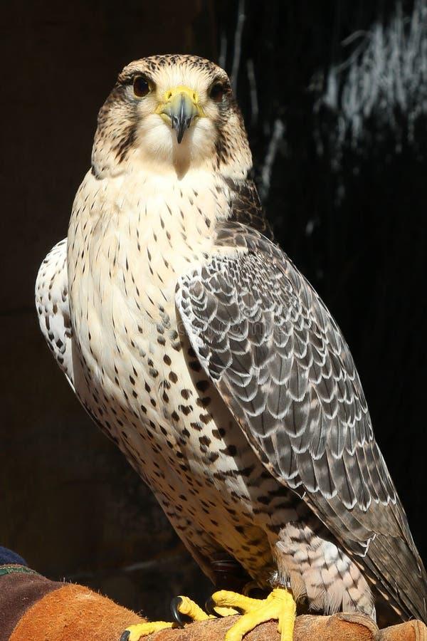 Πουλί αετών στοκ φωτογραφία με δικαίωμα ελεύθερης χρήσης
