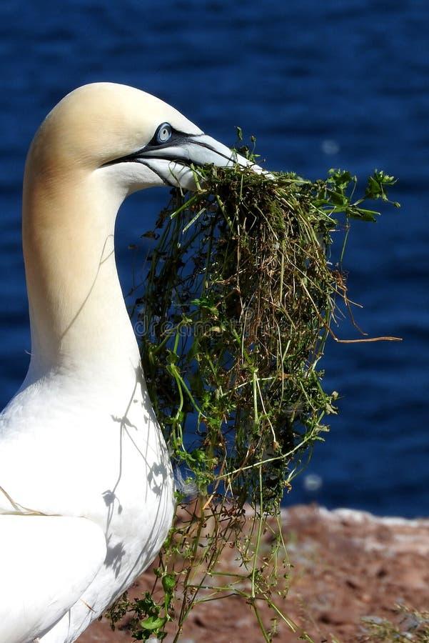 Πουλί βόρειο Gannet στο Bonaventure Island σε Gaspesie, Καναδάς στοκ εικόνα