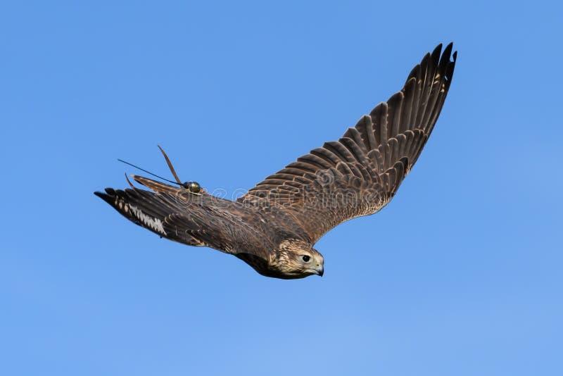 Πουλί γερακιών κατά την πτήση στοκ εικόνες