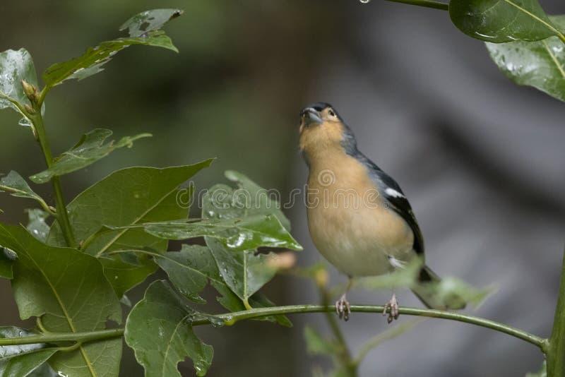 Πουλί, κοινό Chaffinch Fringilla coelebs στο δάσος στο πάρκο Garajonay gomera καναρινιών Λα νησιών στοκ εικόνα