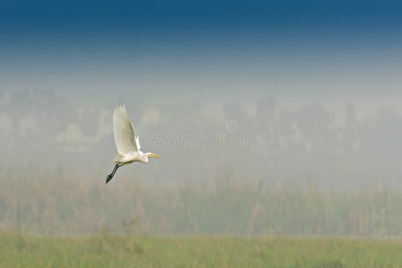 Πουλί - μεσαίος τσικνιάς, intermedia Egretta στοκ εικόνες