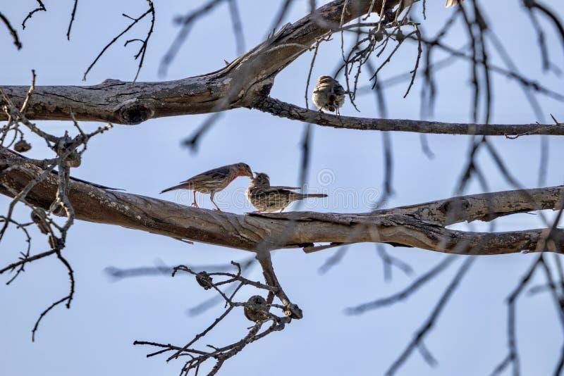 Πουλί μητέρων που ταΐζει ένα πουλί μωρών στοκ εικόνες με δικαίωμα ελεύθερης χρήσης