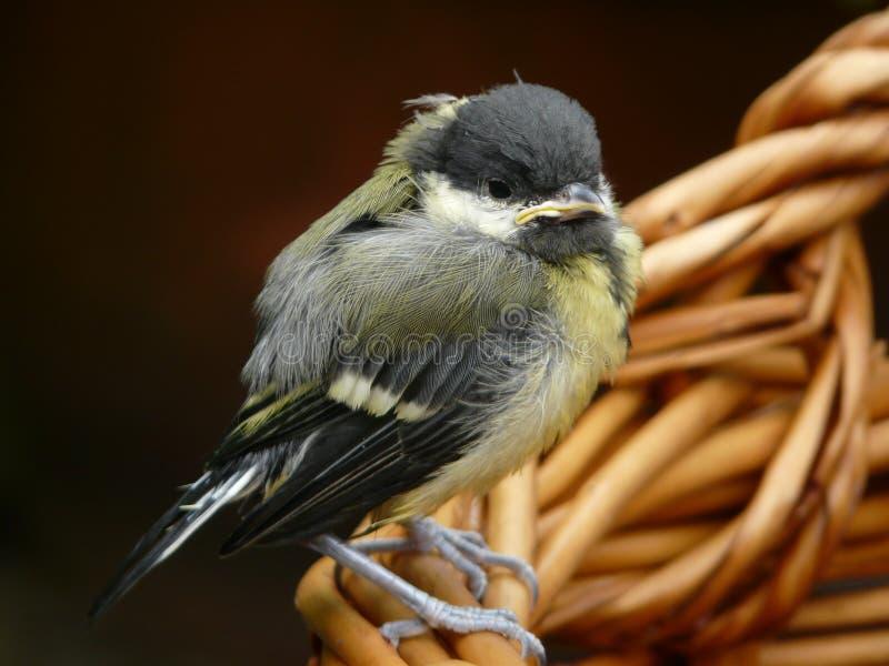 πουλί μωρών στοκ φωτογραφία με δικαίωμα ελεύθερης χρήσης