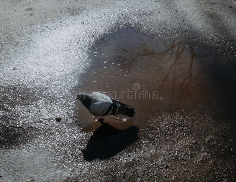 Πουλί στη λακκούβα στοκ εικόνα με δικαίωμα ελεύθερης χρήσης