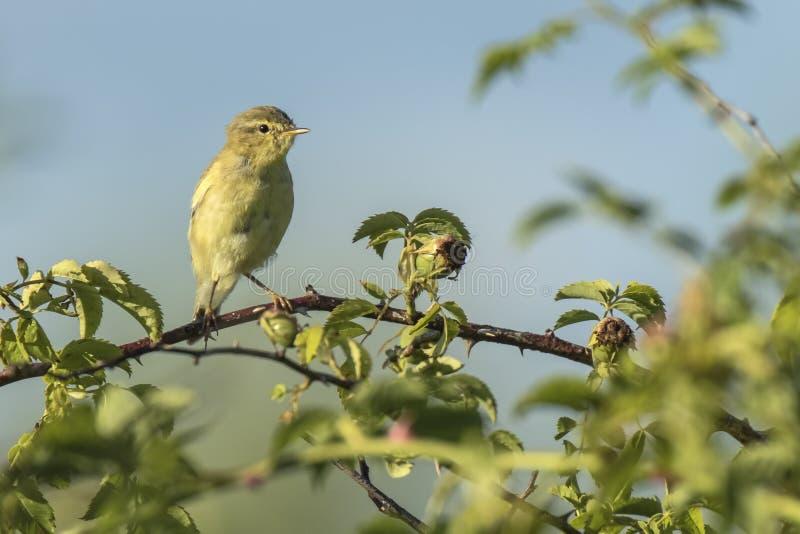 Πουλί συλβιών ιτιών, trochilus Phylloscopus, τραγούδι στοκ εικόνα με δικαίωμα ελεύθερης χρήσης