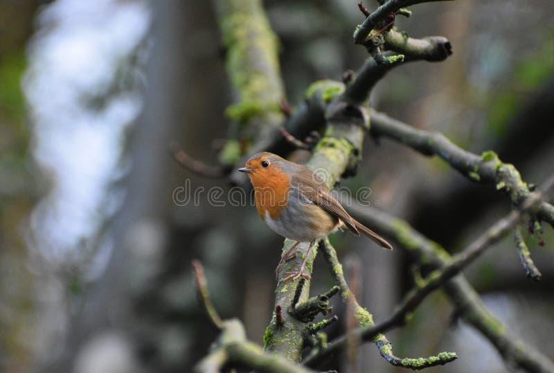 Πουλί της Robin Redbreast στοκ εικόνες με δικαίωμα ελεύθερης χρήσης