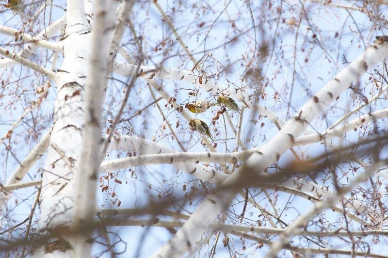 Πουλί - τροφές Siskin που κάθονται στην κορώνα της σημύδας στο χειμερινό δάσος στο υπόβαθρο των κλάδων στοκ εικόνα