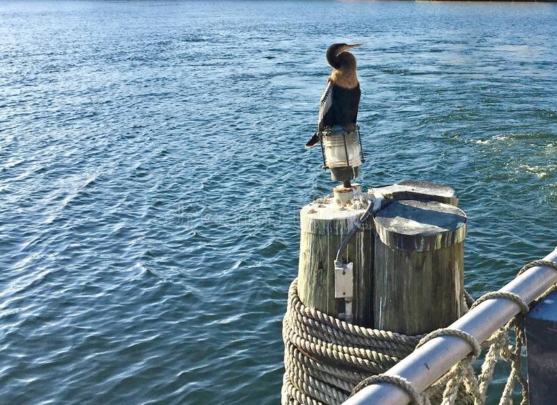 Πουλί Anhinga που στηρίζεται στην αποβάθρα από τη λίμνη στοκ εικόνες
