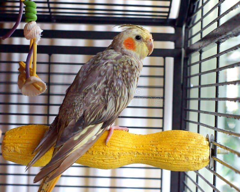 Πουλί Cockatiel σε ένα κλουβί στοκ φωτογραφία