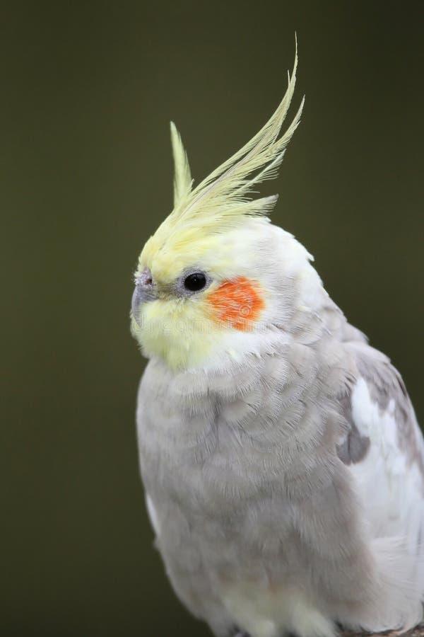 πουλί cockatiel στοκ εικόνες με δικαίωμα ελεύθερης χρήσης