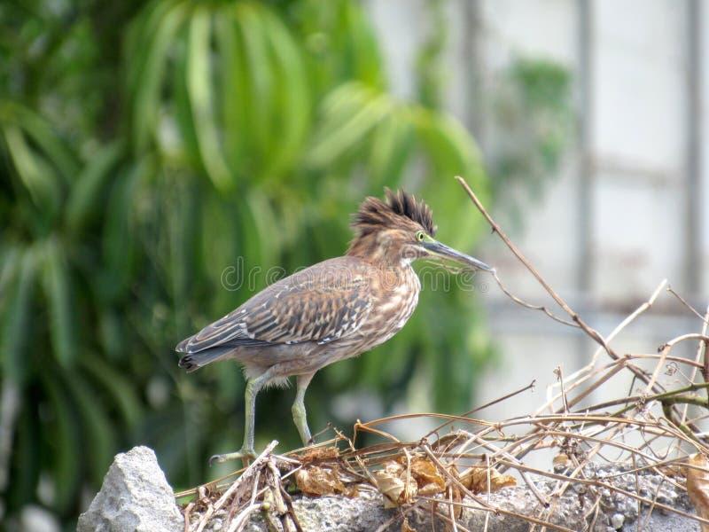Πουλί Herron με το κεφάλι ύφους spikey mohawk feathrs στοκ εικόνα