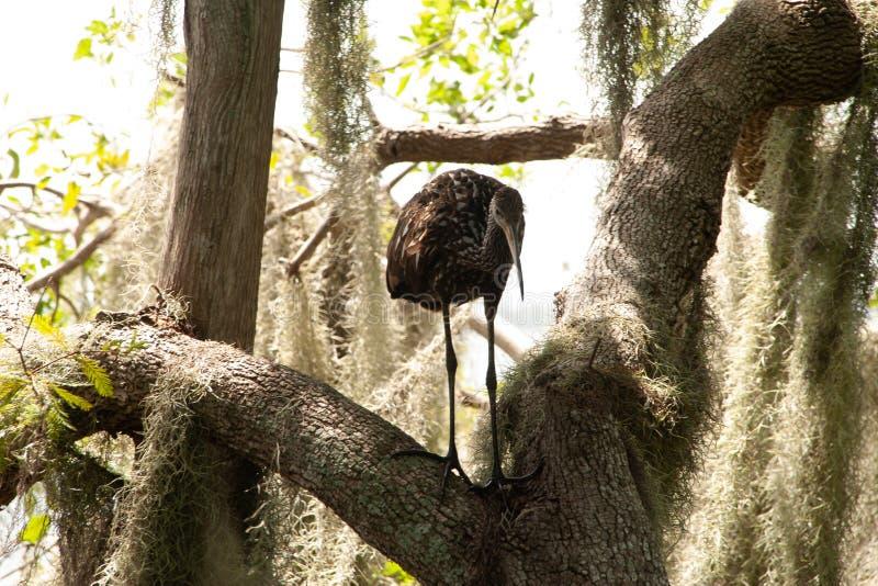 Πουλί Limpkin που σκαρφαλώνει σε ένα δέντρο στοκ φωτογραφίες
