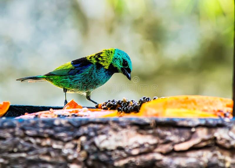 Πουλί saÃra-sete-πυρήνων Tangara seledon στον υπαίθριο τροφοδότη, χαρακτηριστικό πουλί του ατλαντικού δάσους στη Βραζιλία στοκ φωτογραφίες
