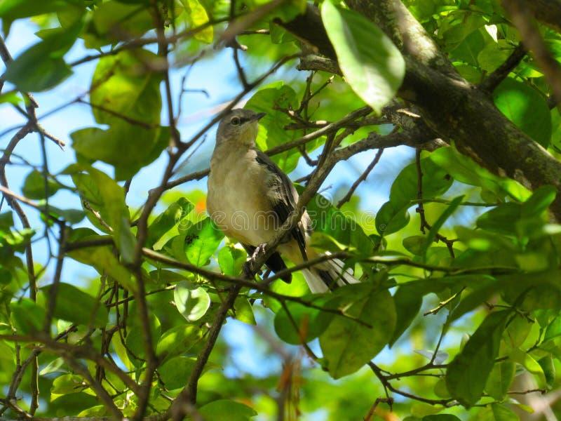 Πουλί Thrasher σε ένα πολύ φυλλώδες δέντρο στοκ εικόνα