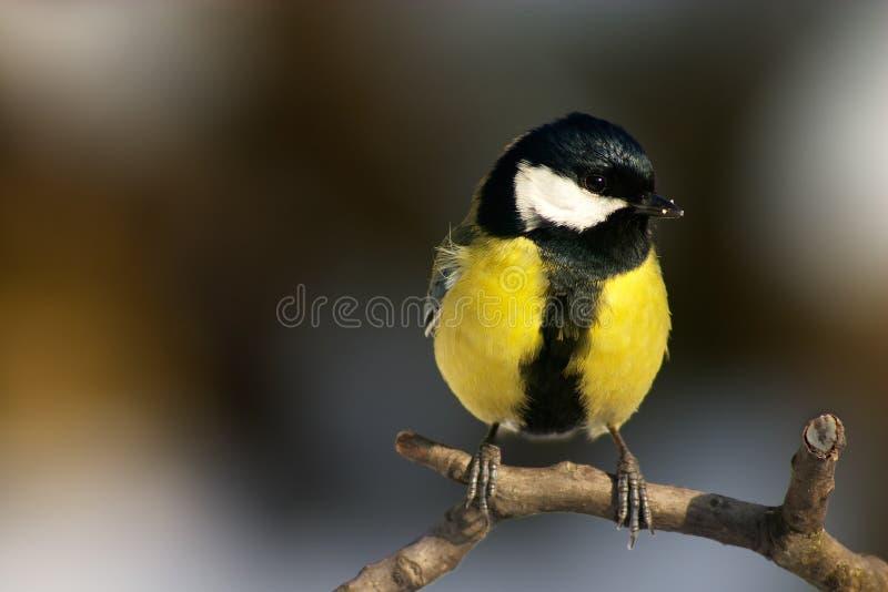 πουλί titmouse στοκ φωτογραφίες