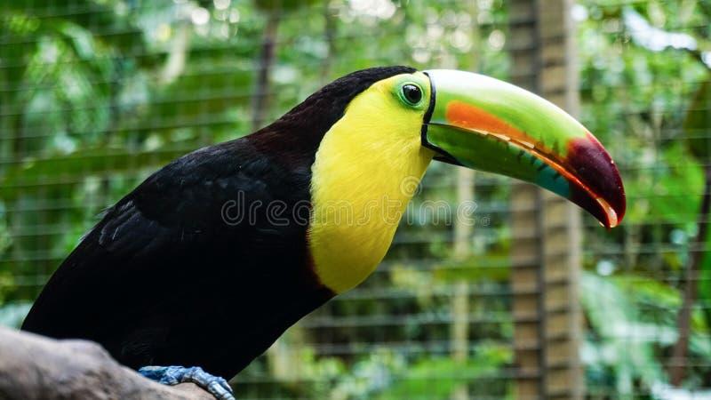 Πουλί Toucan στο πάρκο πουλιών βουνών Macaw, Ονδούρα στοκ εικόνες