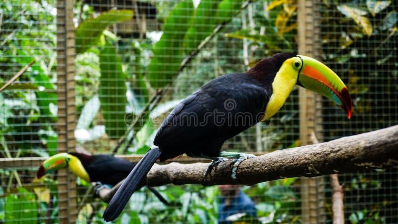 Πουλί Toucan στο πάρκο πουλιών βουνών Macaw, Ονδούρα στοκ εικόνες με δικαίωμα ελεύθερης χρήσης