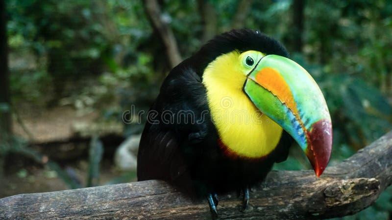 Πουλί Toucan στο πάρκο πουλιών βουνών Macaw, Ονδούρα στοκ φωτογραφίες