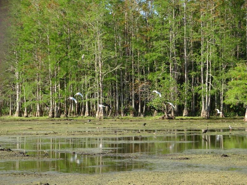 πουλιά και δέντρα κυπαρισσιών στοκ εικόνα με δικαίωμα ελεύθερης χρήσης