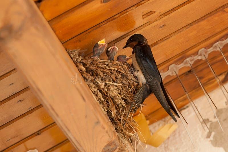 Πουλιά και ζώα στην άγρια φύση Καταπιείτε τις τροφές να τοποθετηθεί πουλιών μωρών στοκ εικόνα με δικαίωμα ελεύθερης χρήσης