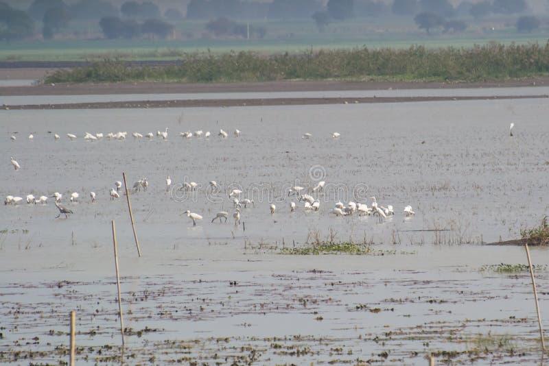 Πουλιά και καλοβατικά υγρότοπου σε μια λίμνη στοκ εικόνες