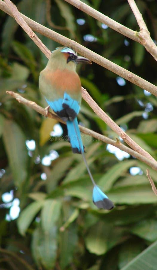 πουλιά Κόστα Ρίκα στοκ φωτογραφίες