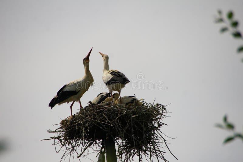 Πουλιά μωρών των άσπρων πελαργών σε μια φωλιά το καλοκαίρι στοκ φωτογραφία με δικαίωμα ελεύθερης χρήσης