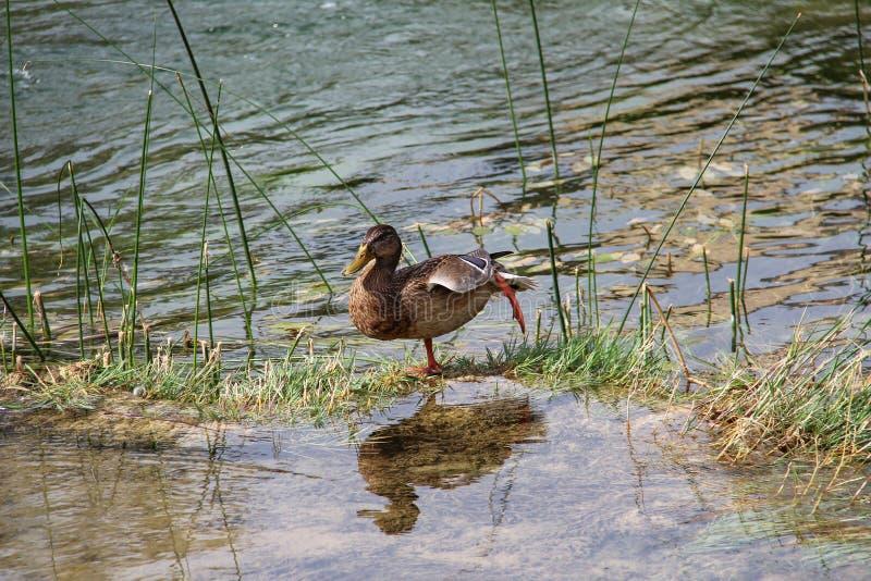 Πουλιά, πάπια στον ποταμό στοκ φωτογραφίες
