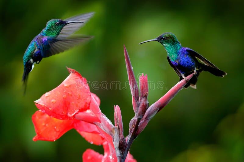 Πουλιά που ζουν στο κόκκινο λουλούδι, Santa Marta, Κολομβία Άγρια πανίδα από τροπική ζούγκλα Βάιολετ Στεφανιασμένο Γούντνναμπ, στοκ φωτογραφίες με δικαίωμα ελεύθερης χρήσης