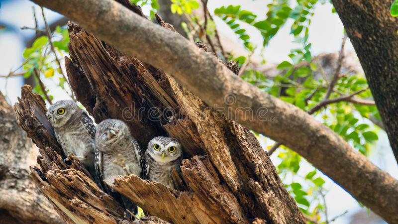 3 πουλιά που ζουν ως οικογένειες βρίσκονται στις κοιλότητες των δέντρων με ένα άσπρο υπόβαθρο Το επισημασμένο owlet είναι φυσική  στοκ εικόνες