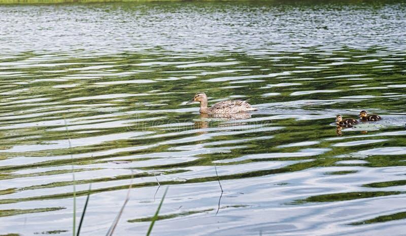 Πουλιά στη λίμνη Ένα κοπάδι των παπιών και των περιστεριών από το νερό MI στοκ φωτογραφίες