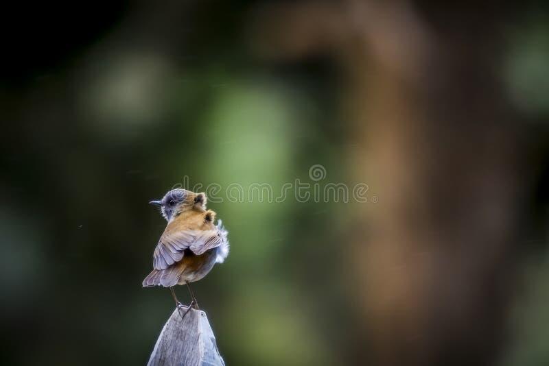 Πουλιά των μαύρων τιμολογημένων nightingale gracilirostris Catharus τσιχλών της Κόστα Ρίκα στοκ εικόνες