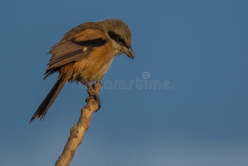 πουλιών shrike που παρακολο&u στοκ εικόνες