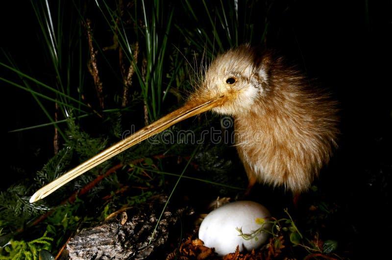Πουλί ακτινίδιων και ένα αυγό στοκ εικόνα με δικαίωμα ελεύθερης χρήσης