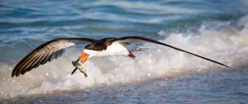 Πουλί αποβουτυρωτών με τα ψάρια - που πετούν πέρα από το νερό και τα κύματα στοκ φωτογραφία