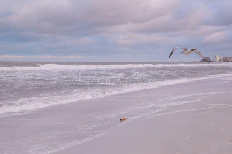 Πουλί θάλασσας κατά την πτήση πέρα από την κυματωγή παραλιών στοκ εικόνα