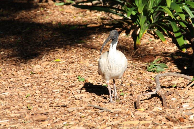 Πουλί θρεσκιορνιθών στοκ εικόνες με δικαίωμα ελεύθερης χρήσης