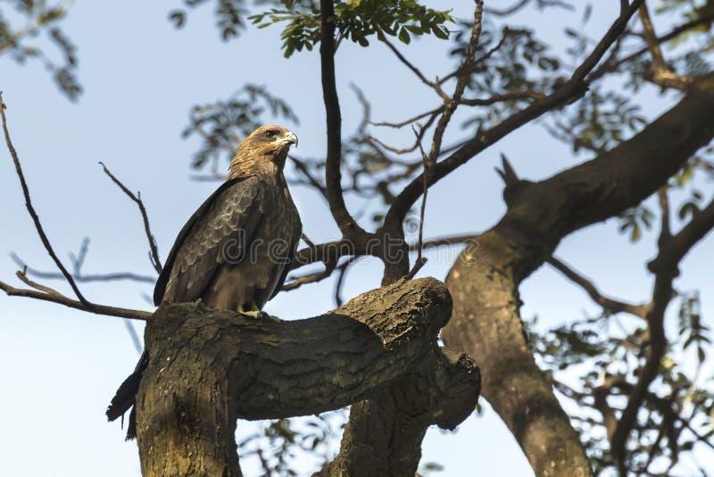 Πουλί, ικτίνος παριών - Milvus migrans στοκ φωτογραφίες με δικαίωμα ελεύθερης χρήσης