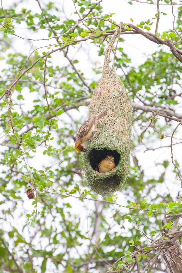 Πουλί και φωλιά υφαντών στοκ εικόνες