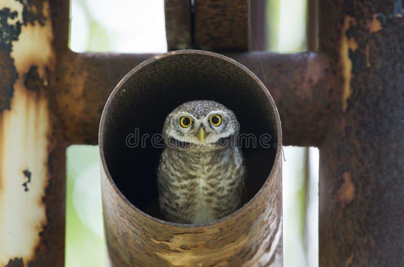 Πουλί, κουκουβάγια, επισημασμένο brama Athene owlet στοκ φωτογραφία με δικαίωμα ελεύθερης χρήσης