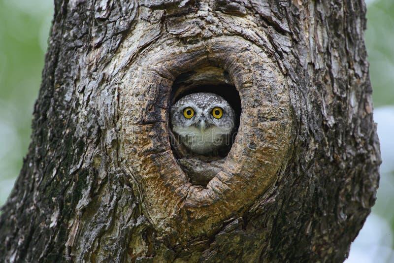 Πουλί, κουκουβάγια, επισημασμένο brama Athene owlet στοκ εικόνες
