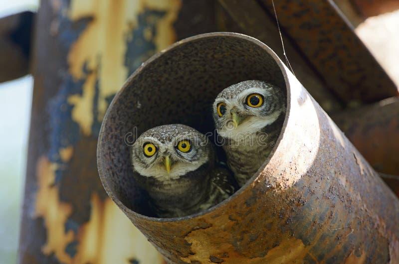 Πουλί, κουκουβάγια, επισημασμένο brama Athene owlet στοκ φωτογραφία