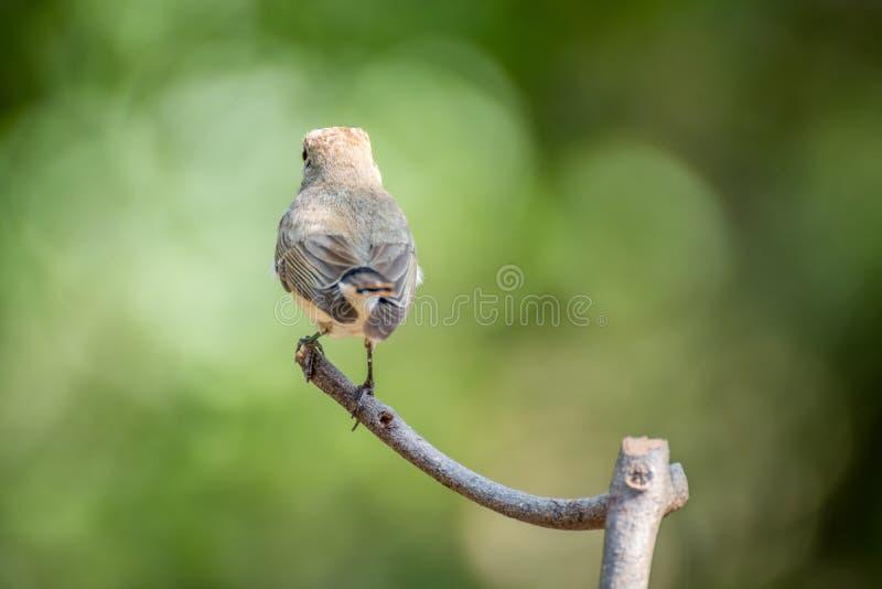 Πουλί (κόκκινος-Flycatcher) σε ένα δέντρο στοκ φωτογραφίες