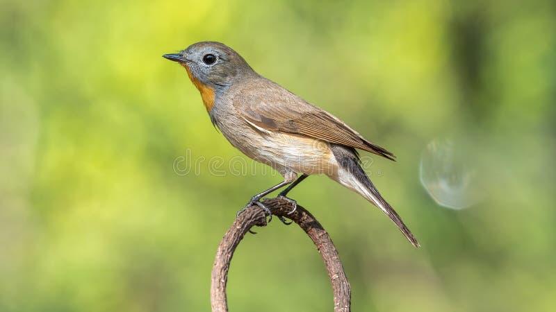 Πουλί (κόκκινος-Flycatcher) σε ένα δέντρο στοκ φωτογραφία με δικαίωμα ελεύθερης χρήσης