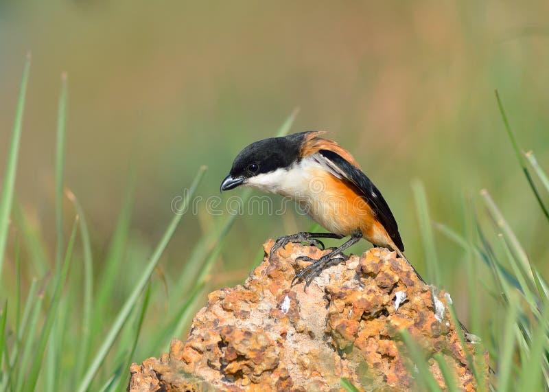 Πουλί (με μακριά ουρά Shrike), Ταϊλάνδη στοκ φωτογραφίες