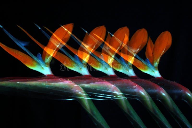 Πουλί πέντε του παραδείσου στοκ φωτογραφία με δικαίωμα ελεύθερης χρήσης